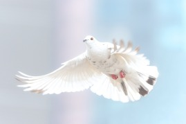 peace - dove
