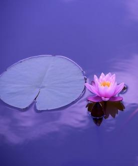 purple-lotus-cropped
